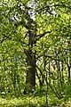 Tarasove Lutskyi Volynska-Group of oaks-giant-view from park alley-1.jpg