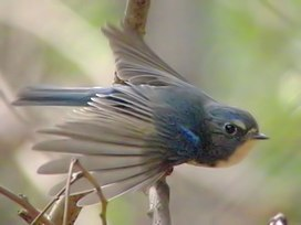 Tarsiger cyanurus Flying.jpg