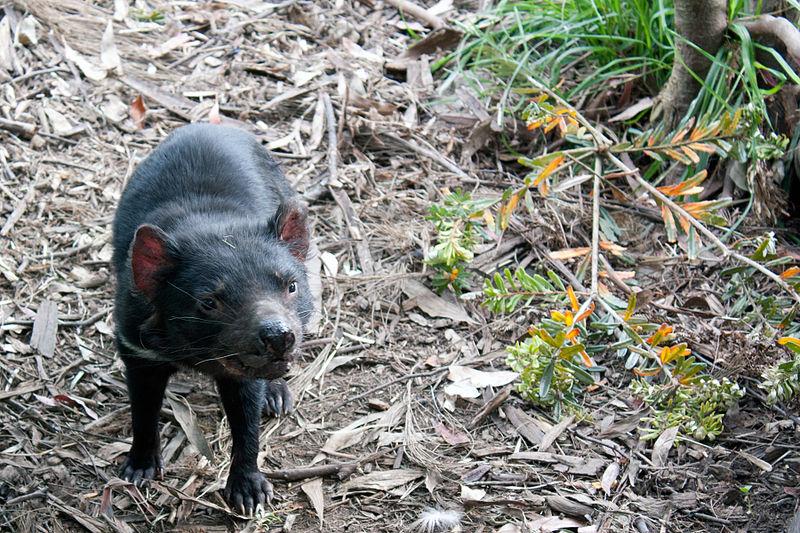 File:Tasmanian Devil - Port Arthur Tasmania (5406943447).jpg