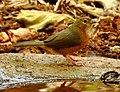 Tawny-bellied Babbler Dumetia hyperythra by Dr. Raju Kasambe DSCN1181 (8).jpg