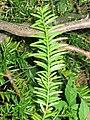 Taxus canadensis 7-eheep (5098081212).jpg