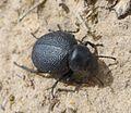 Tenebrionidae. Darkling Beetle - Flickr - gailhampshire.jpg