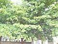 Terminalia catappa (100).jpg