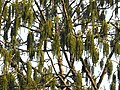 Tetrameles nudiflora Manamboli DSCN9685.JPG