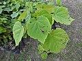Tetrameles nudiflora Sapling (3).jpg