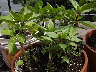 Thai basil - Early-season Thai basil