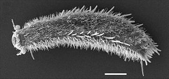 Macrodasyida - Thaumastoderma ramuliferum  (ventral view)