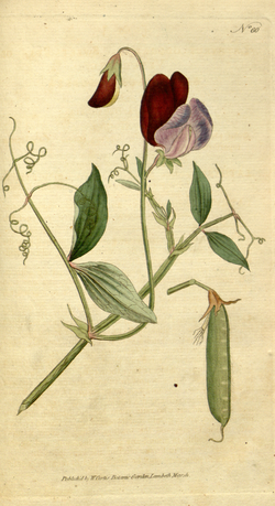 The Botanical Magazine, Plate 60 (Volume 2, 1788).png
