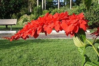 National symbols of Trinidad and Tobago - Image: The Chaconia Flower, Trinidad (Warszewiczia coccinea)