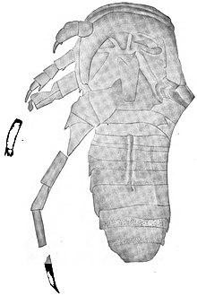 Hardieopterus - WikiVisually