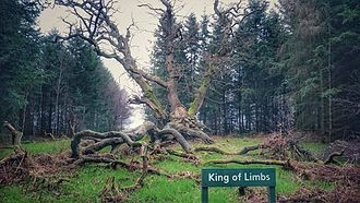 Savernake Forest - The King of Limbs, an ancient tree