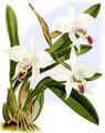 The Orchid Album-01-0134-0044-Laelia anceps dawsonii-crop.png