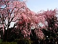 The cherry blossoms in Chidori-ga-fuchi park - panoramio.jpg