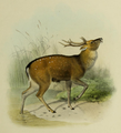 The deer of all lands (1898) Formosan sika.png