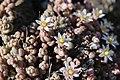 Thick-leaved Stonecrop - Sedum dasyphyllum (14107737124).jpg