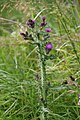 Thistle by the path - geograph.org.uk - 1498416.jpg