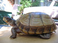 A three-toed box turtle standing on a turtle facing left.
