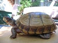 Una tortuga de caja de tres dedos de pie sobre una tortuga mirando hacia la izquierda.