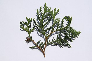 Thuja occidentalis foliage 1.JPG