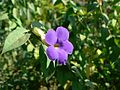 Thunbergia erecta (348512921).jpg