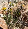 Thymophylla pentachaeta var belenidium 10.jpg