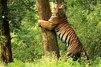 Tiger Kanha National Park.jpg