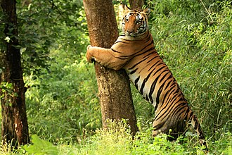 Kanha Tiger Reserve - Image: Tiger Kanha National Park