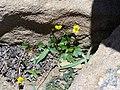 Timberline buttercup (4546128273).jpg