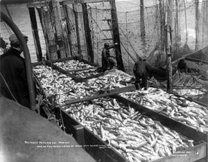 Tlingit cuisine - Commercial salmon production by the Tlingit, 1907
