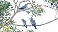 Topknot Pigeon (Lopholaimus antarcticus) (31217896412).jpg