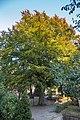 Torun ogrod zoobotaniczny buk zwyczajny pomnik przyrody 01.jpg
