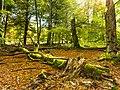 Totholz im Nationalpark Hunsrück-Hochwald.jpg