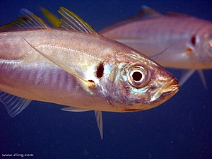 Yellowtail horse mackerel - Image: Trachurus novaezelandiae