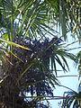 Trachycarpus fortunei, pied femelle.JPG