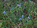 Tradescantia hirsutiflora Arkansas.jpg