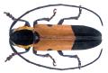Tragocephala mniszechi Thomson, 1857.png