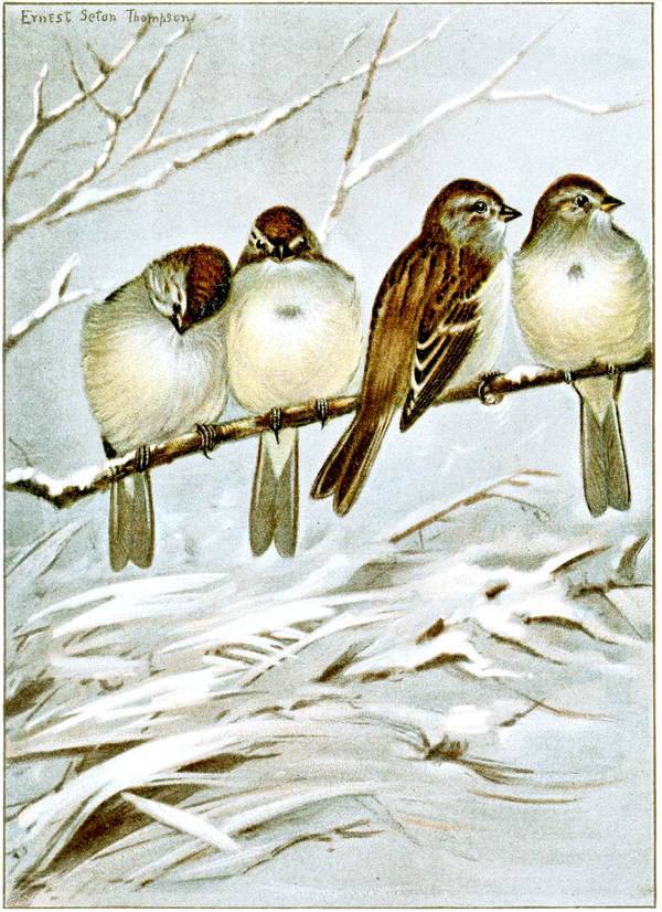 Tree Sparrow-Bird-Life-0105-146.png