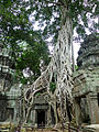 Tree roots and temple, Ta Prohm, Angkor, Cambodia.jpg