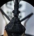 Triatoma patagonica cabeza y pronoto.jpg