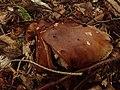 Tricholoma ustale (Haute-Loire, France) 01.jpg