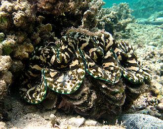 Fluted giant clam - Image: Tridacna squamosa Réunion