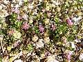 Trifolium resupinatum sl14.jpg