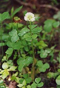 Trifolium stoloniferum