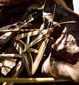 Trigonodes hyppasia . Noctuidae, Catocalinae, Ophiusini - Flickr - gailhampshire.jpg