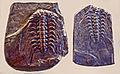 Trilobites - Solenopeltis buchi vultuosa.JPG