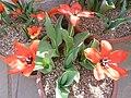 Tulipa fosteriana 'Princeps' (Liliaceae) plant.jpg