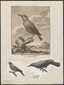 Turdus cyanus - 1700-1880 - Print - Iconographia Zoologica - Special Collections University of Amsterdam - UBA01 IZ16300309.tif