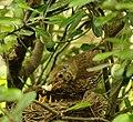 Turdus philomelos -New Zealand -nest-8 (5).jpg