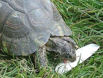 Cuttlebone - Tortoise with cuttlebone