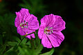 Twinn-4-oclock-flowers-macro - Virginia - ForestWander.jpg